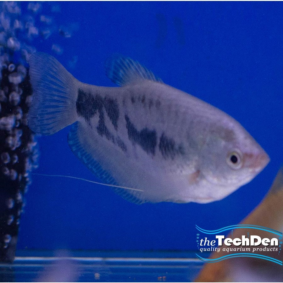 Assorted Gourami - In Store Pick Up Only