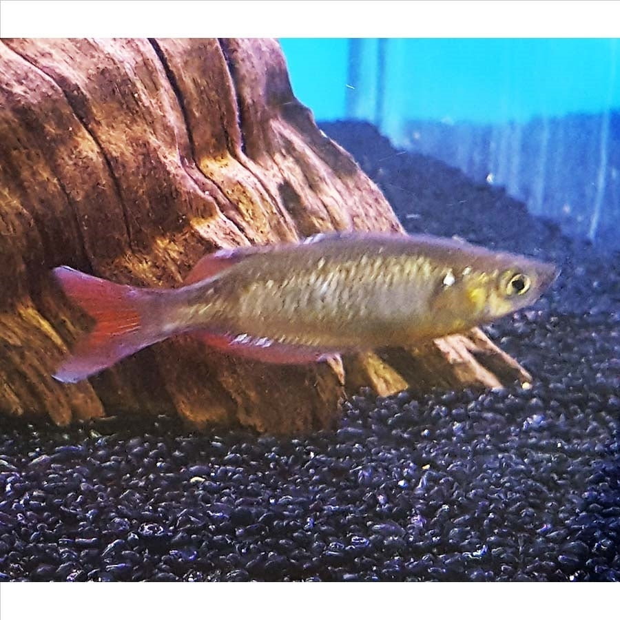 Red Rainbow fish - In Store Pick Up Only