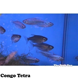 Congo Tetra - Pick Up In Store Only