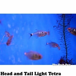 Head and Tail Light Tetra - Pick Up In Store Only