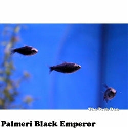 Palmeri Black Emperor Tetra - Pick Up In Store Only