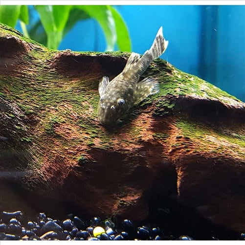 Bristlenose Common 3cm - Pick Up In Store Only