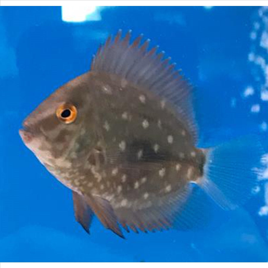 Uaru Cichlid - In Store Pick Up Only