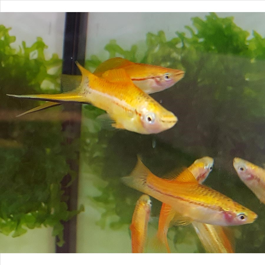 Assorted Swordtails - In Store Pick Up Only