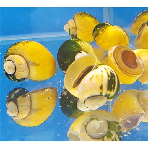 Gold Mystery Snails - Pick Up In Store Only