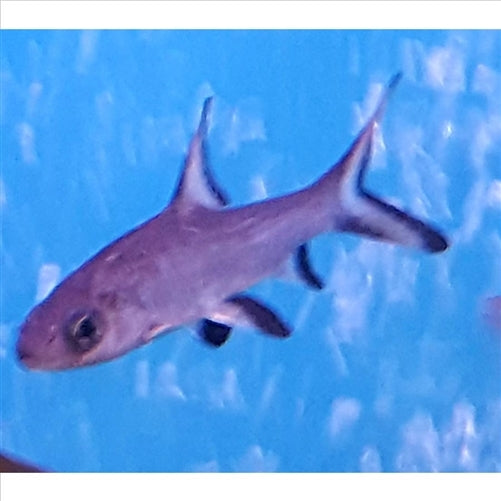 Silver Shark 10cm - In Store Pick Up Only