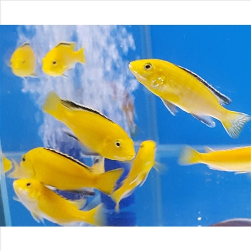 Electric Yellow / Labidochromis - Pick Up In Store Only