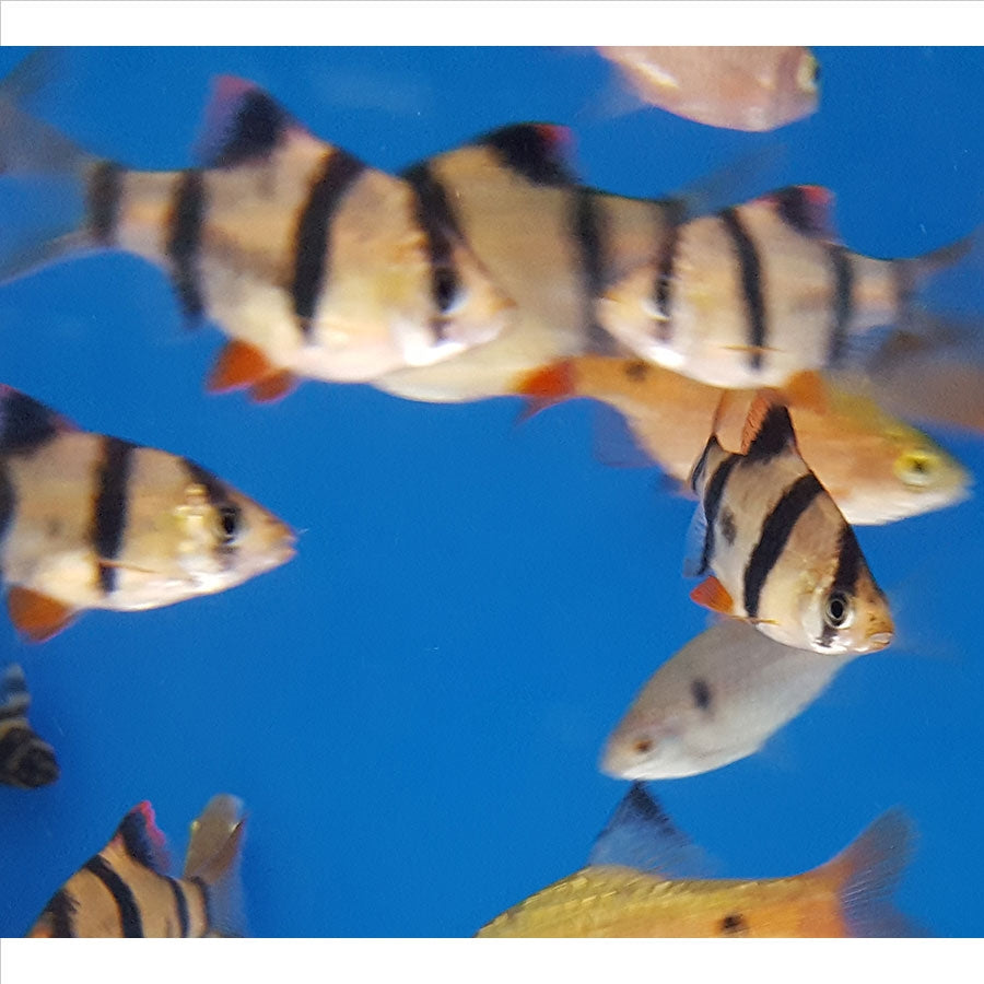 Assorted Tiger Barb - Pick Up In Store Only