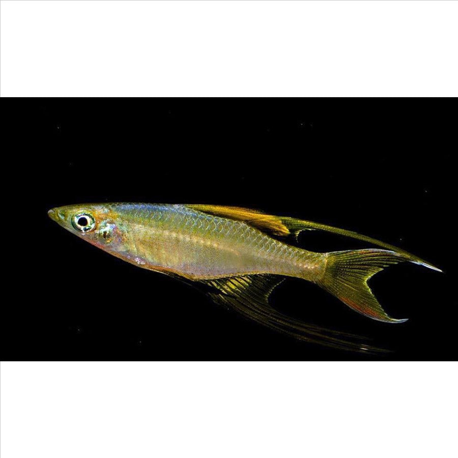 Threadfin Rainbow fish - In Store Pick Up Only