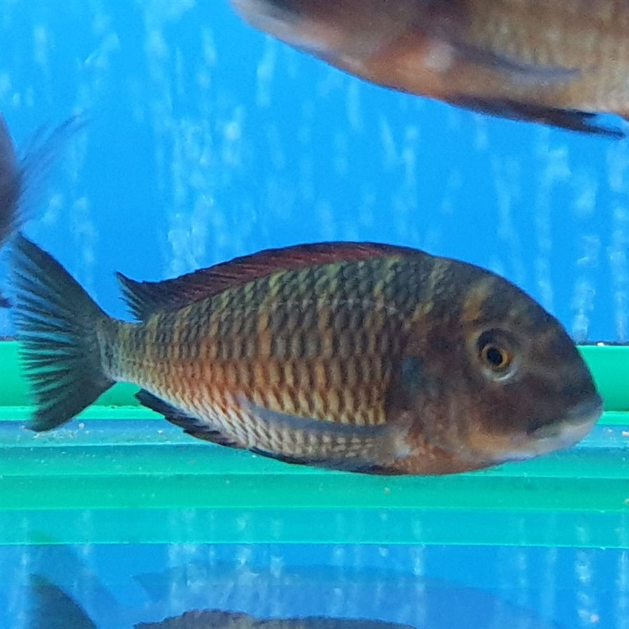 Tropheus sp Red Moliro Cichlid - In Store Pick Up Only