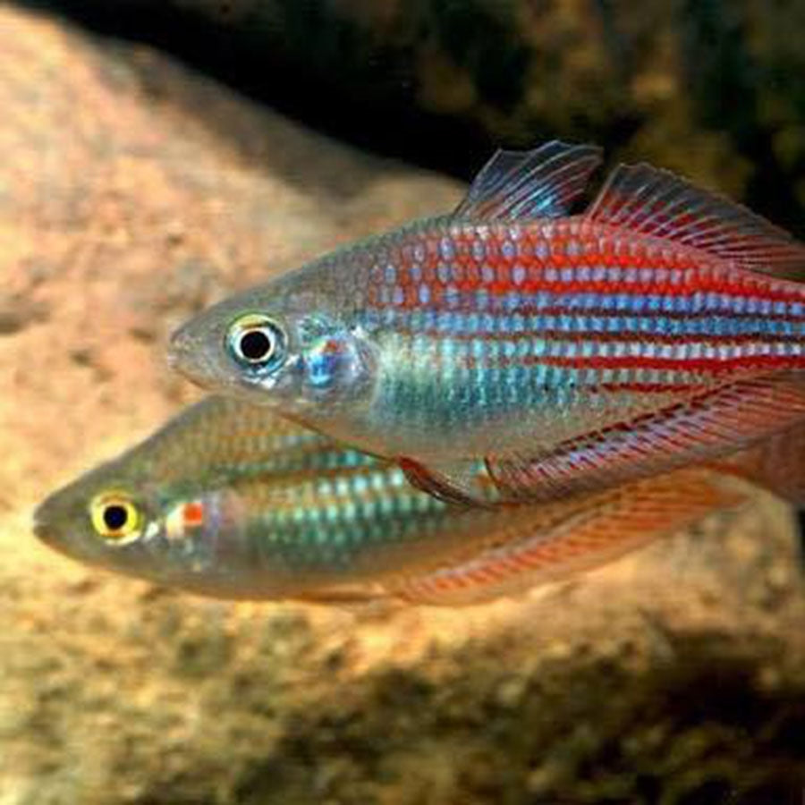 Utchee Creek Rainbow fish - In Store Pick Up Only