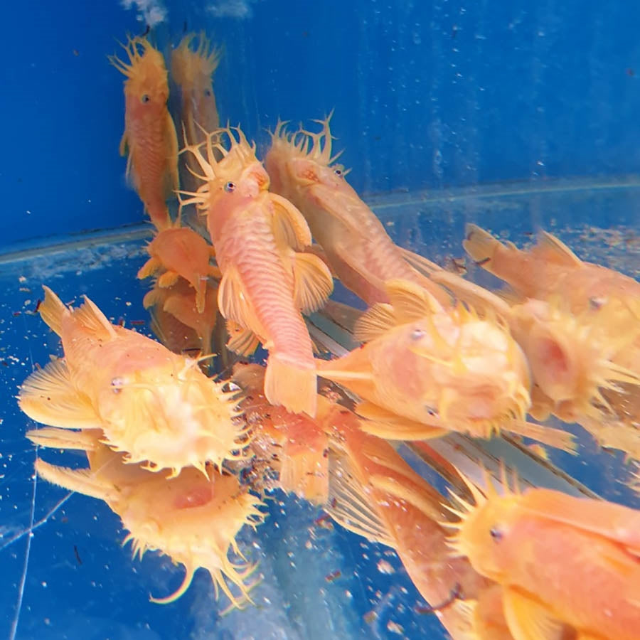 L144 Ancistrus Lemon Bristlenose Large  - Pick Up In Store Only