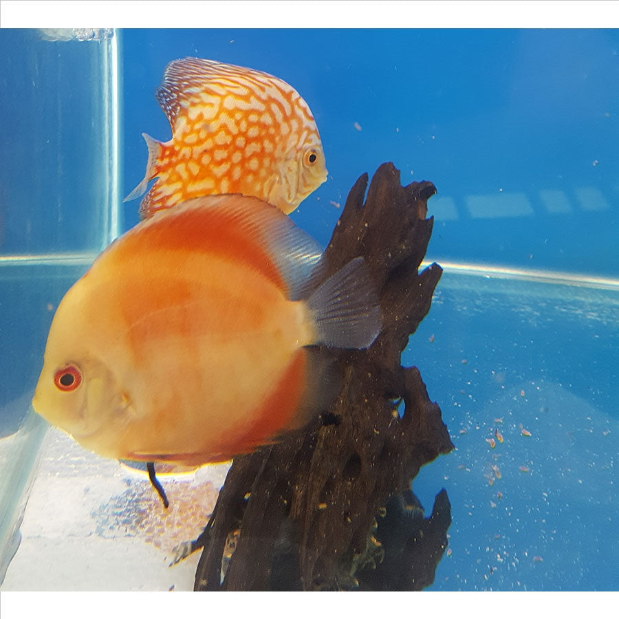 Assorted Discus 8cm - Pick Up In Store Only