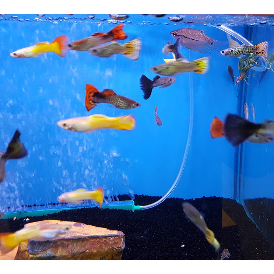Assorted Guppys - In Store Pick Up Only