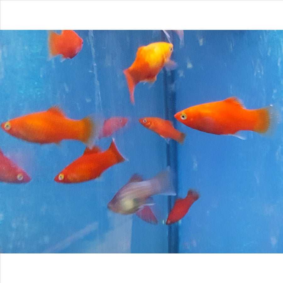 Assorted Platy - In Store Pick Up Only