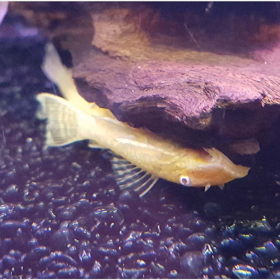 Albino Bristlenose - Pick Up In Store Only