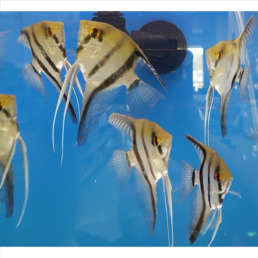 Mixed Angelfish Small - In Store Pick Up Only
