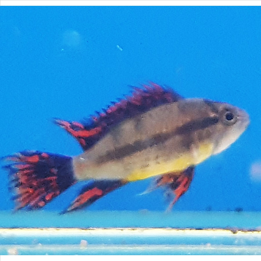 Cacatoides Apistogramma  - In Store Pick Up Only