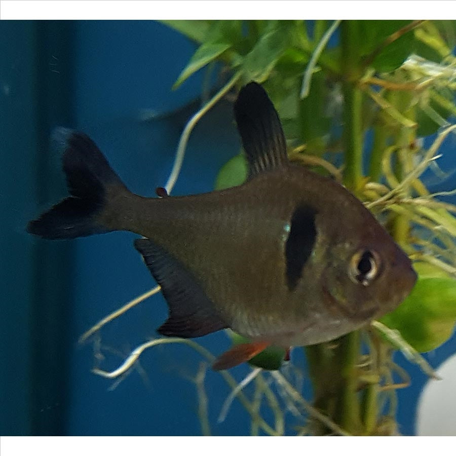 Black Phantom Tetra - Pick Up In Store Only