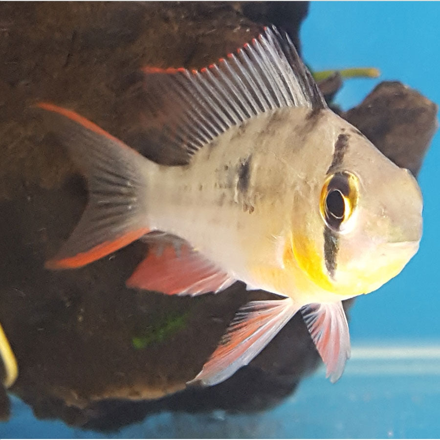 Bolivian Butterfly Ram - In Store Pick Up Only