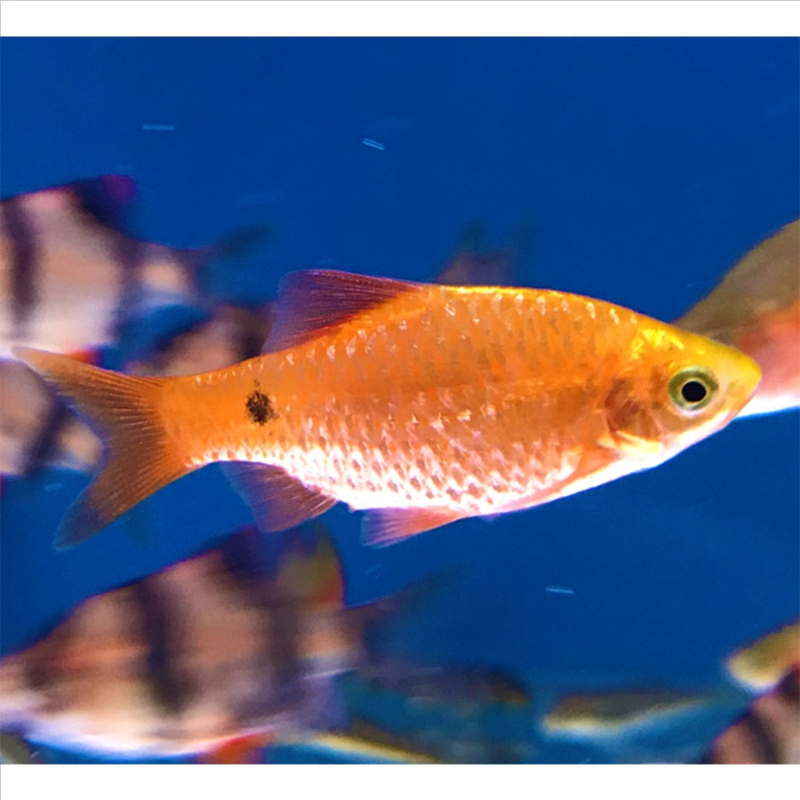 Glowlight Chilli Rosy Barb - Pick Up In Store Only