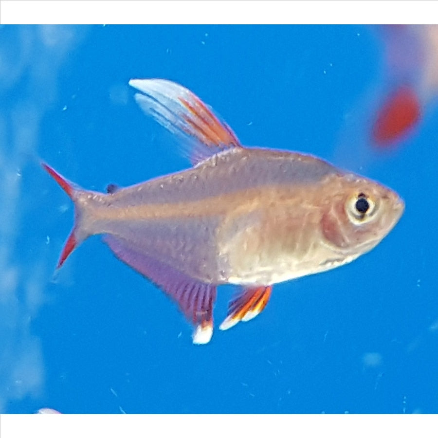 Rosy Tetra - Pick Up In Store Only