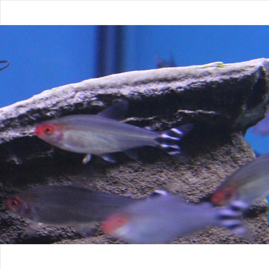 Rummy Nose Tetra - Pick Up In Store Only