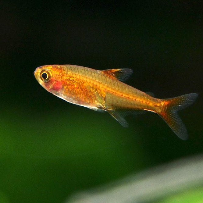 Fire - Ember Tetra - Pick Up In Store Only