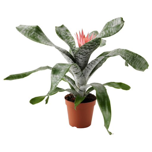 AECHMEA Potted plant - Urn plant 6 ""