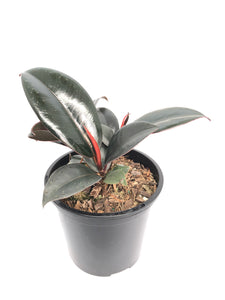Burgundy Rubber Plant 105mm Pot