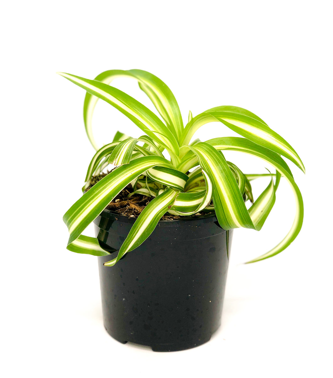 Curly spider plant- Chlorophytum comosum 'Bonnie' 105mm pot