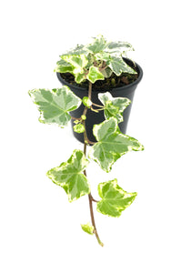 Hedera Variegated Ivy 105mm pot