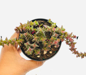 Red Pagoda Succulent 90mm pot