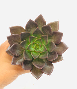 Echeveria Prince Aurea 90mm pot