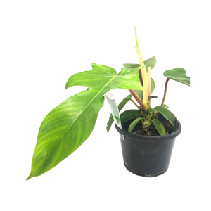 Philodendron Squamiferum 130mm pot (Rare species)
