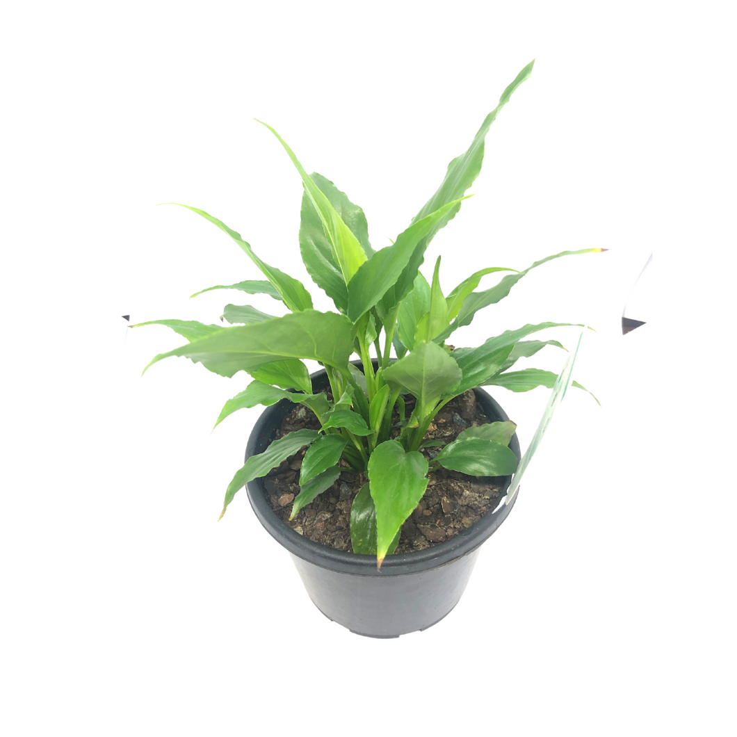 Spathiphyllum/ Peace Lily 130mm pot