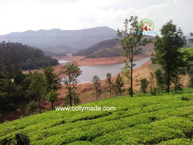 Nilgiri Tea – A Healthy Gift From The Blue Mountains of Queen of Hills