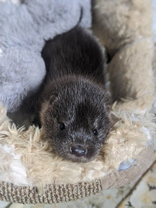 Super Seven... otters in care at IOSF Centre