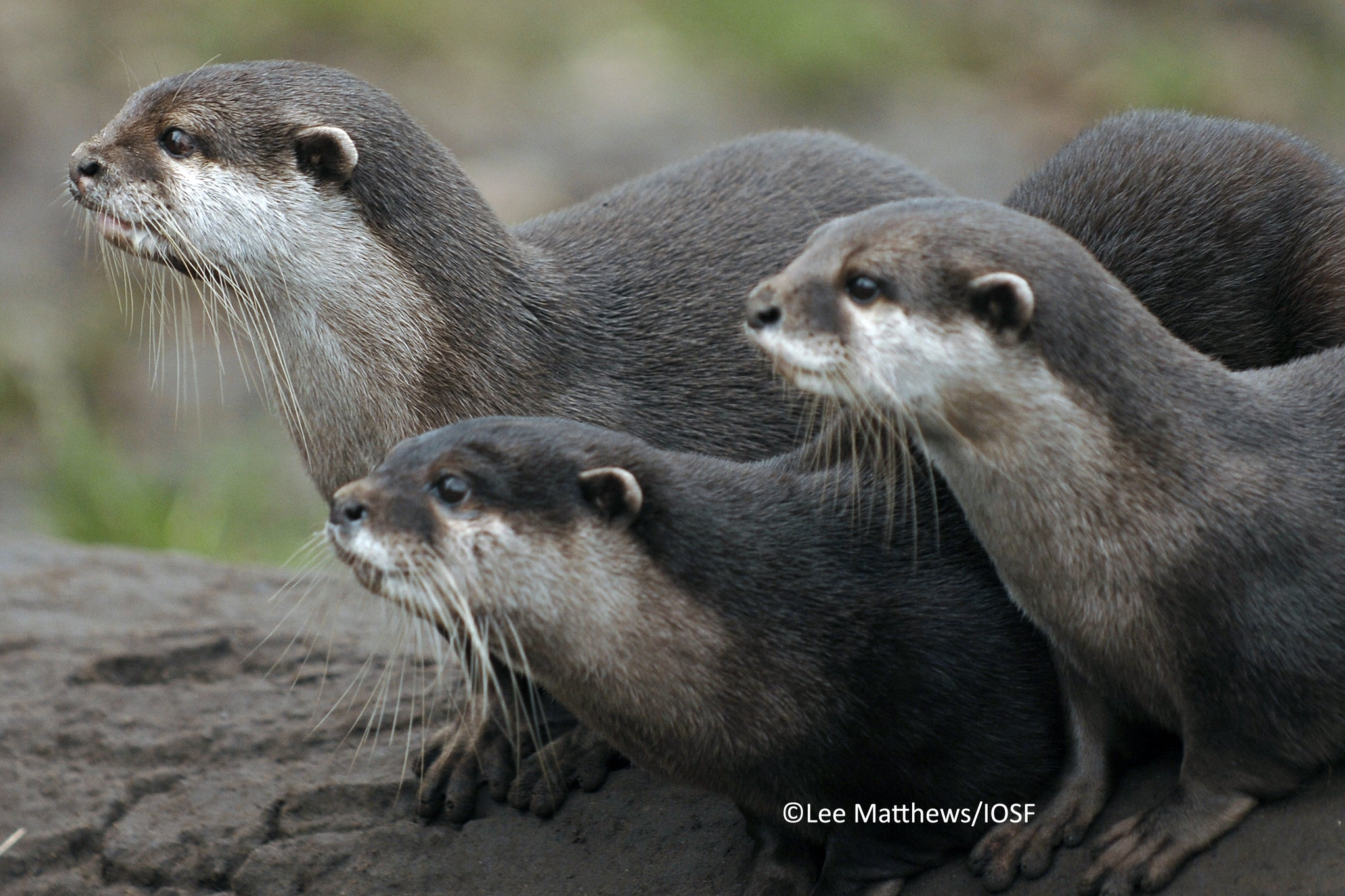 Family Otter Adoption Renewal