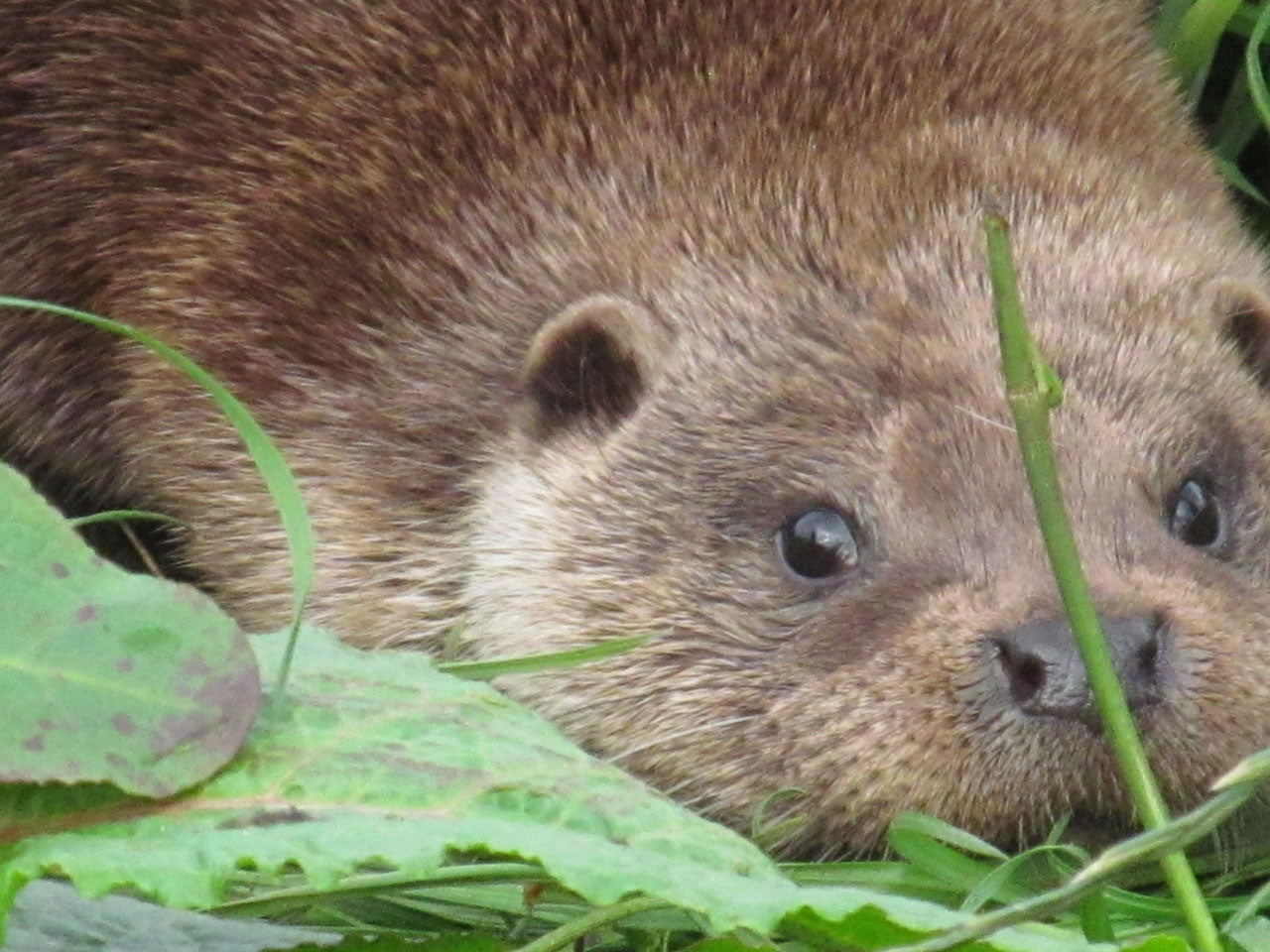 Renew your Adult Otter Sponsorship