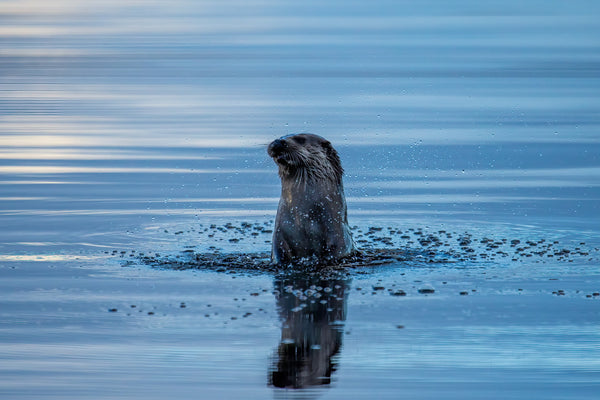 Wild Otters from David Coultham Photography