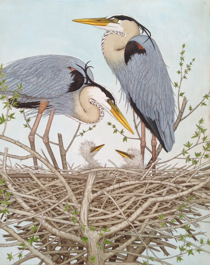 Great Blue Herons with Chicks
