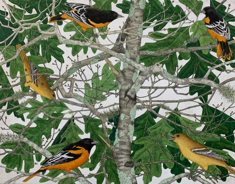 Orioles in the Oaks