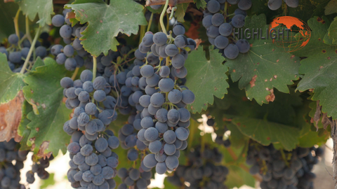 AGR_039 Stock footage of agriculture in Israel: Grapes in the vineyard