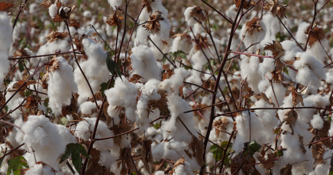 AGR_013 - Stock Footage of Israel: C/U of ripe cotton in field