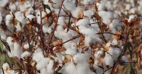 AGR_014 - Stock Footage of Israel: C/U of ripe cotton in field
