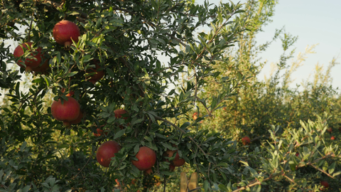 AGR_033 Agriculture In Israel: pomegranates 4K video