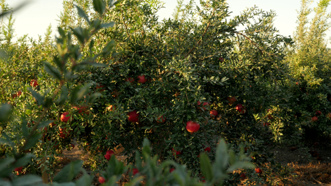 AGR_034 Stock footage of Agriculture in Israel: 4K Pomegranates