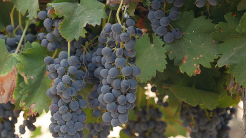 AGR_040 Stock footage of agriculture in Israel: Grapes in the vineyard