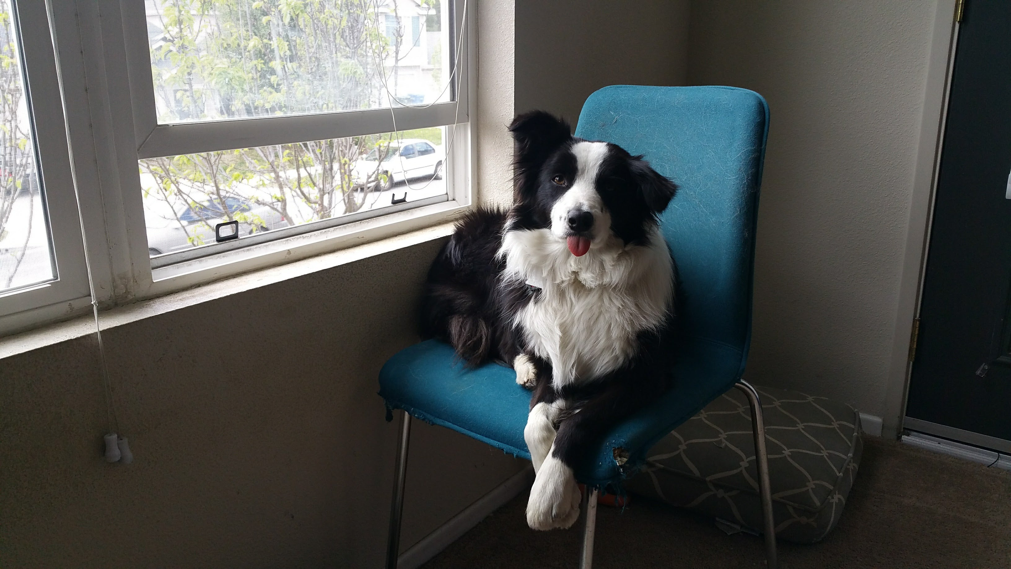 A Border Collie stuck inside due to the cold weather